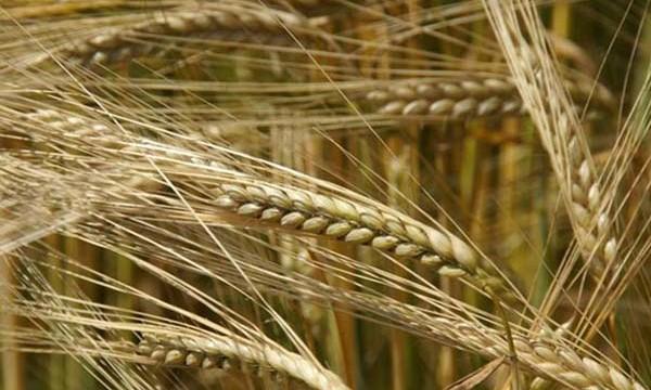 В Украине собраны первые 2,5 тысячи тонн зерновых нового урожая