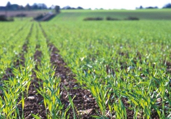 В 2019 году ожидается увеличение урожая озимых зерновых