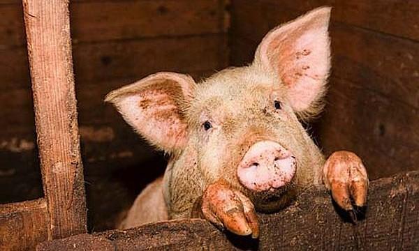 Цены на свинину продолжают расти