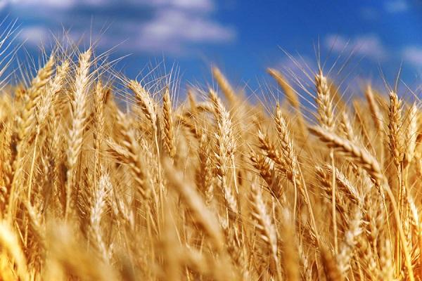 ГПЗКУ начала закупку зерновых нового урожая