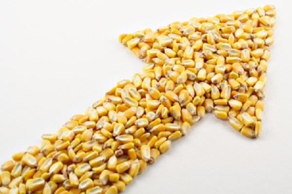 Цена на украинскую кукурузу растет ускоренными темпами