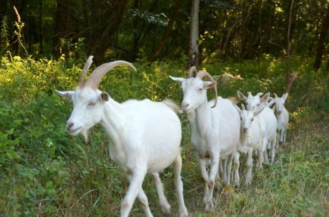 Украина будет экспортировать мелкий рогатый скот в Кувейт