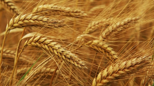 Урожай зерновых перевалил за 45 млн тонн