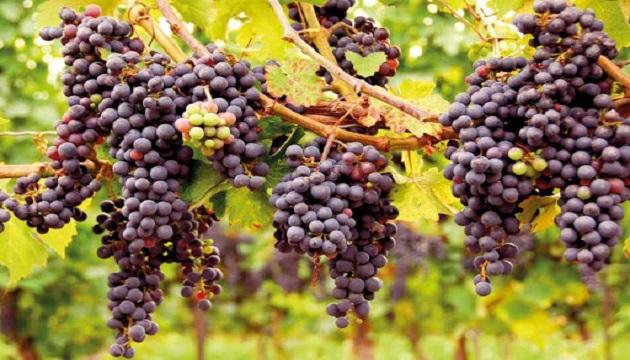 Кабмин обновил программу господдержки садоводства и виноградарства