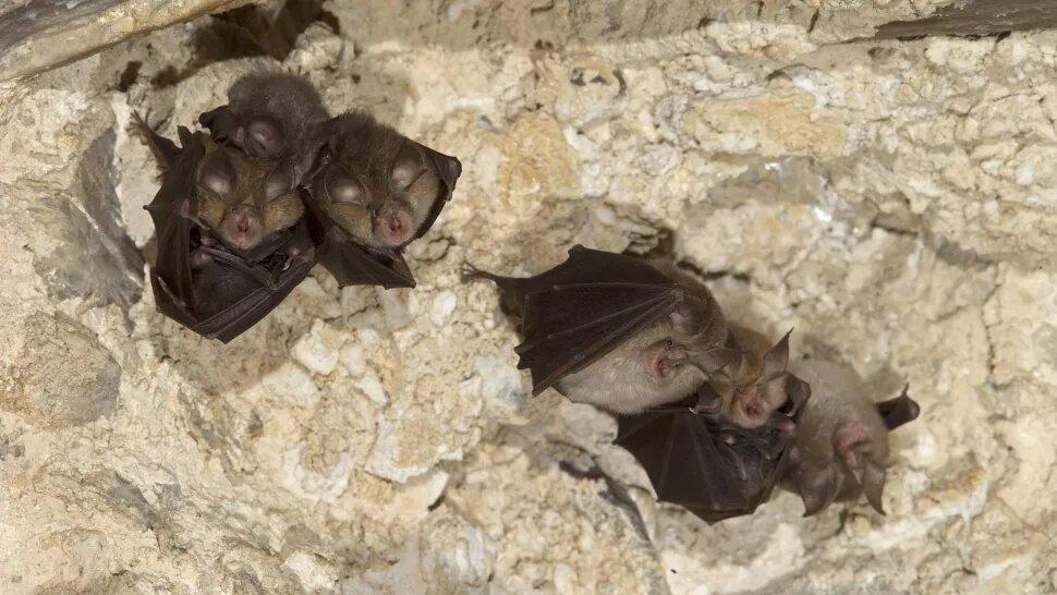 Ученые обнаружили у лаосских летучих мышей вирусы – ближайшие родственники SARS-CoV-2, вызвавшего COVID-19