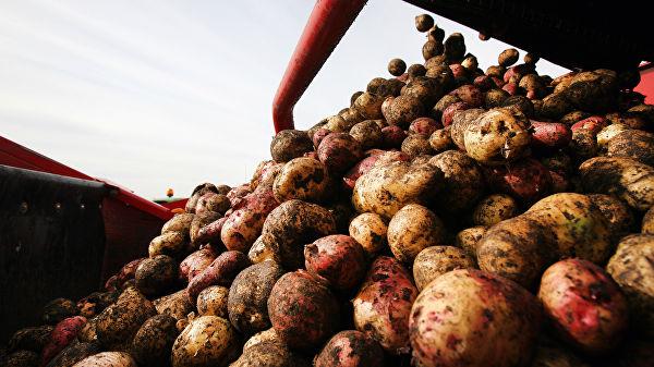 В Украину завезли 180 фур гнилого картофеля из страны агрессора