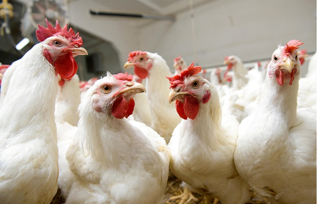 Украинская курятина выходит на рынок Либерии