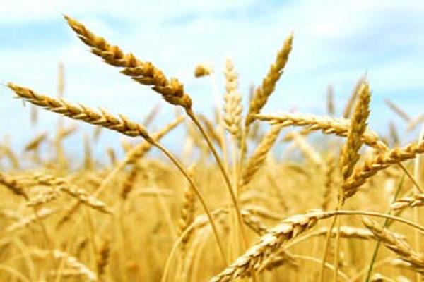 Аграрии уже собрали свыше 11 миллионов тонн зерна нового урожая