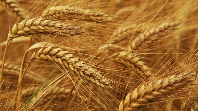 В Минагрополитики увеличили прогноз урожая зерновых до 63,1 млн т